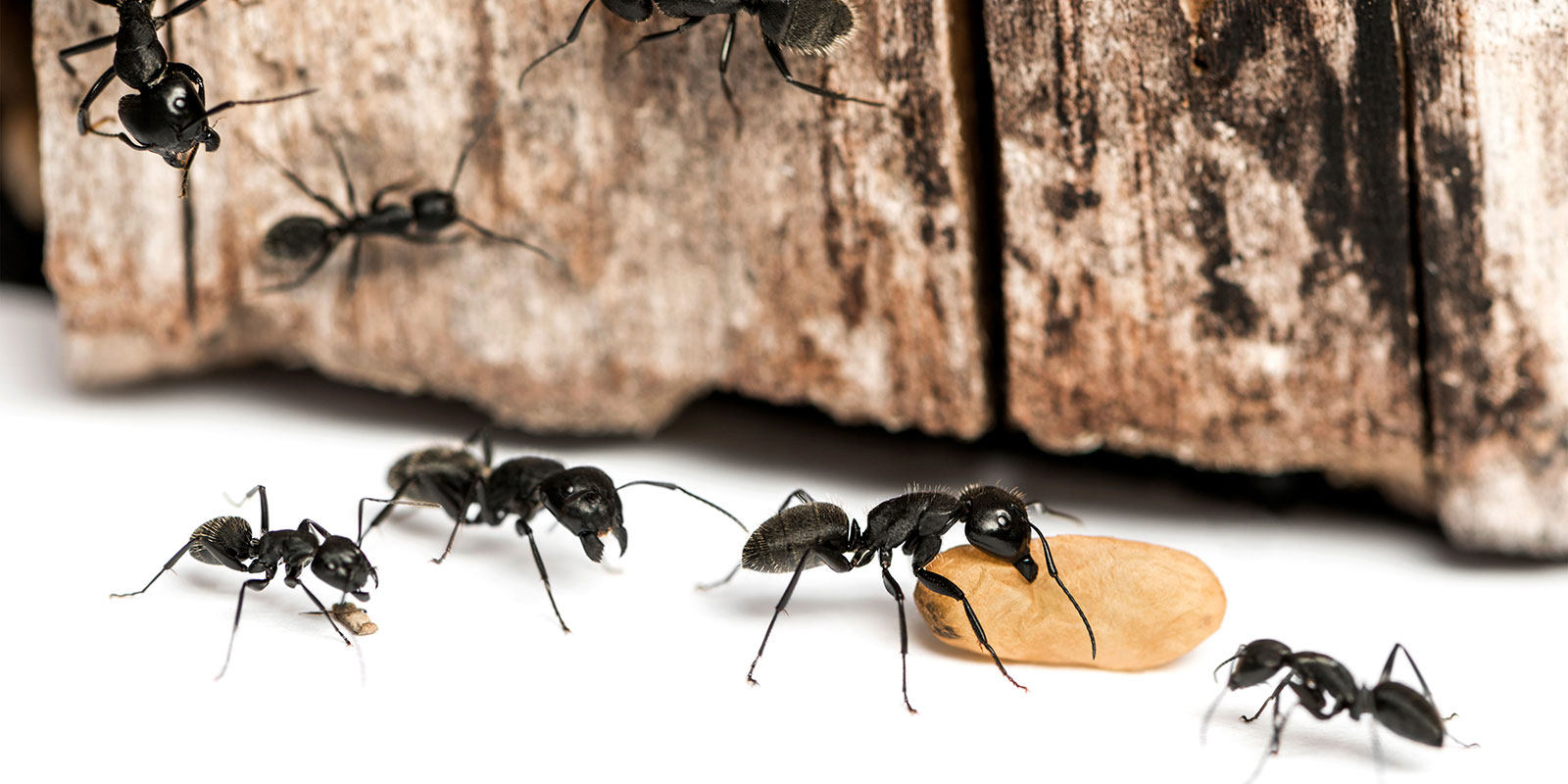 Five ants attempt to carry a nut from the counter of a home in Vancouver.